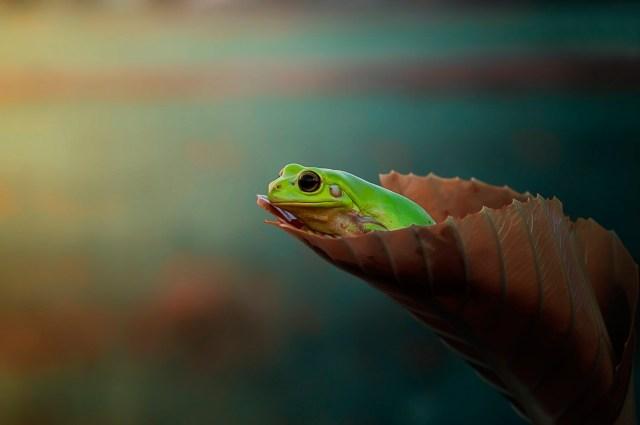 Leaf frog.jpg
