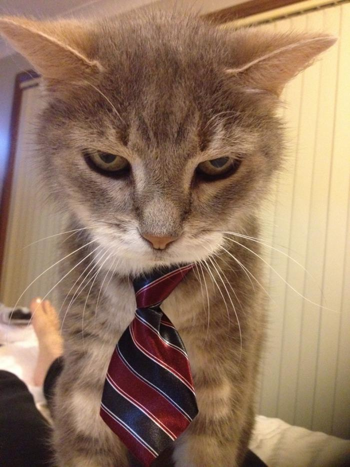 Business Cat is Serious.jpg