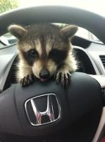 baby raccoon driver.jpg