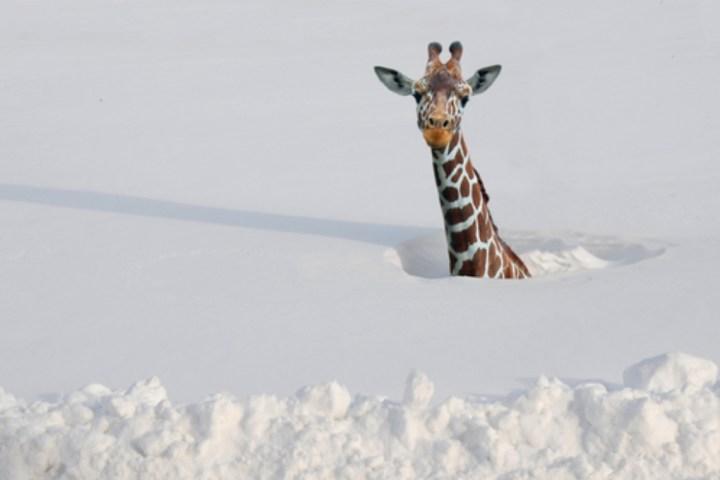 Snow giraffee.jpg