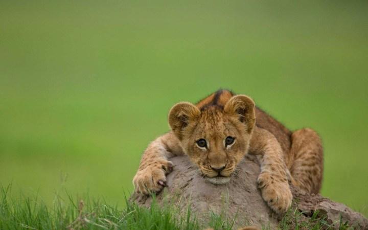 Lion on a rock.jpg