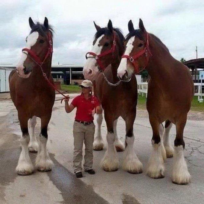 massive horses