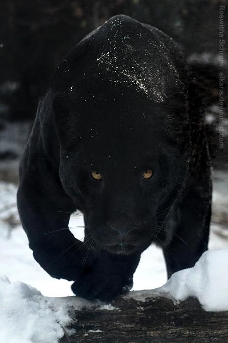 blackpanther.jpg (245 KB)