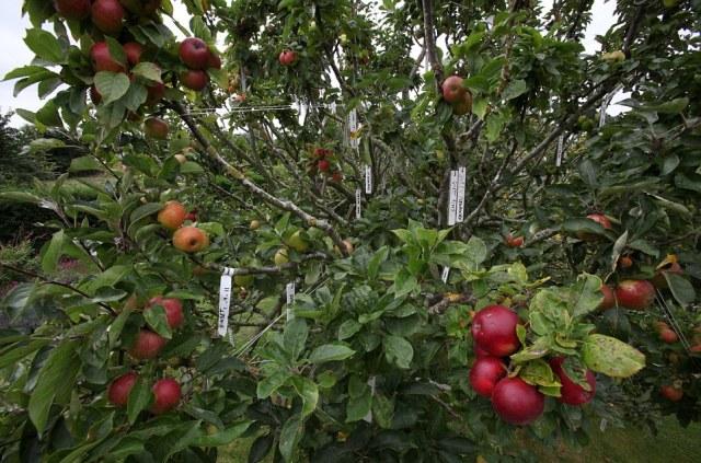apple4.jpg (253 KB)