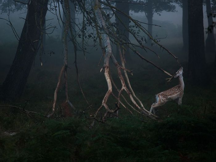 deer-dawn-richmond-park_85289_990x742.jpg (87 KB)