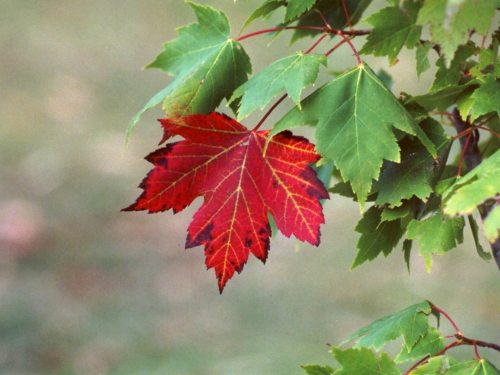 red-maple-tree.jpg (103 KB)