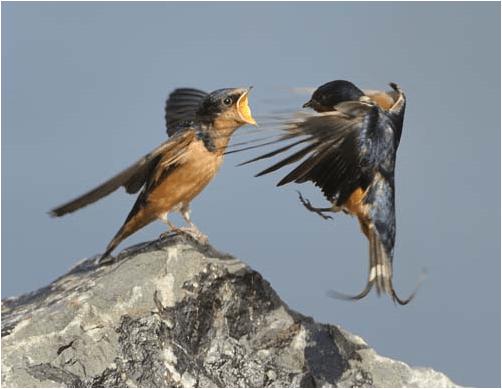 bellowingbird_audobon.PNG (220 KB)