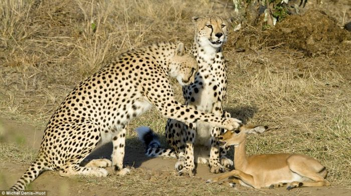 cheetahs_letting_tiny_antelope_go_01.jpg (86 KB)