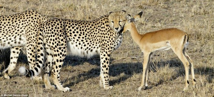 cheetahs_letting_tiny_antelope_go_02.jpg (78 KB)