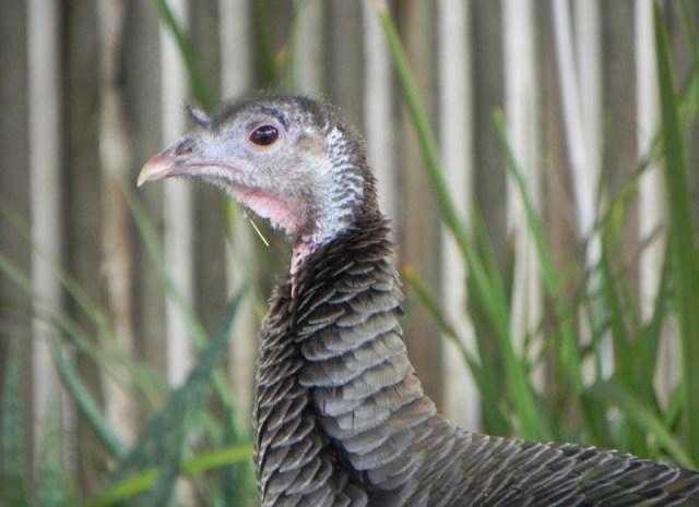 turkey_girlfriend.jpg (137 KB)