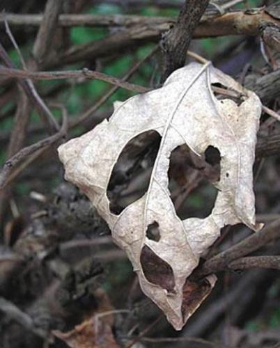 mrl.leaf.jpg (52 KB)