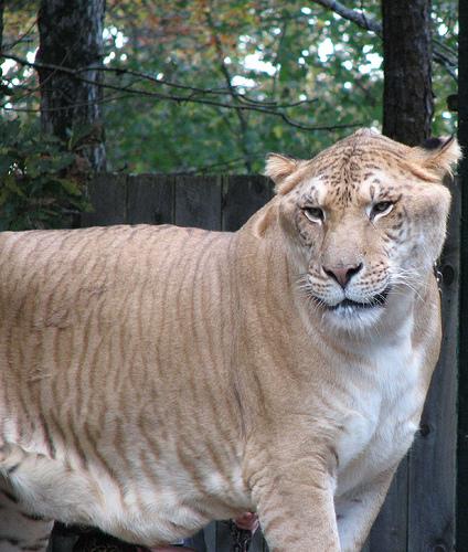 liger-pic.jpg (169 KB)