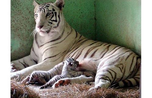 A-white-Tigress_1373581i.jpg (59 KB)