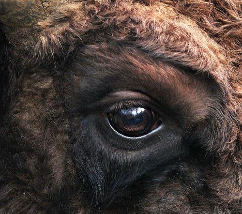 678px-Bison_bonasus_right_eye_close-up.jpg (142 KB)