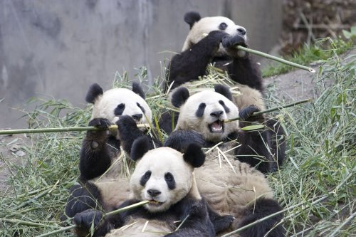 01-giant-panda-group-eating-bamboo.jpg (322 KB)