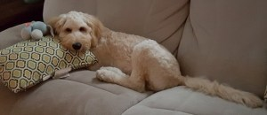 murray goldendoodle