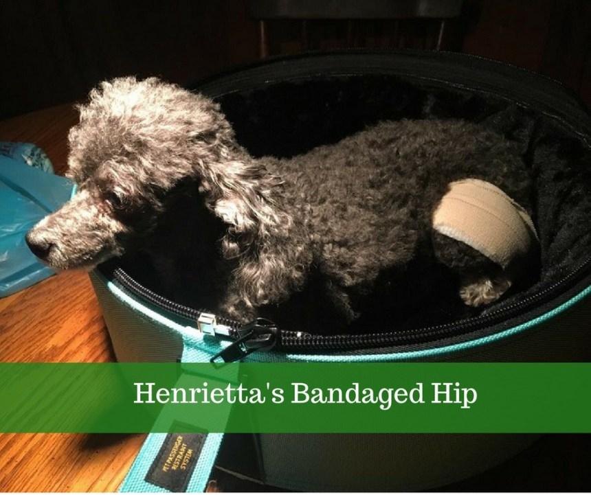 hen's injuured hip