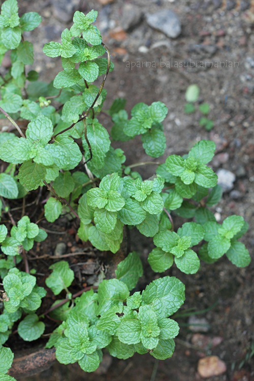 Kitchen Garden Mint