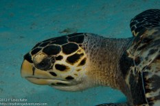 Hawks Bill Turtle - I named him Fred