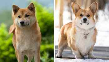 Shiba Inu Price How Much Do They Cost Why