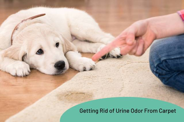 Ultimate Guide To Getting Rid Of Urine Odor From Carpet - My Fair