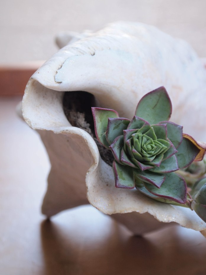 DIY Succulent Seashell | My Fair Olinda