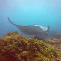 Sensational Diving with the Manta Rays (Stradbroke Island)
