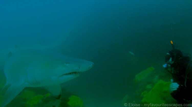 Julian Rocks 05 Grey Nurse Shark