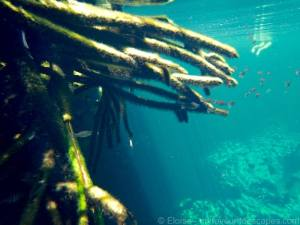 Best Cenotes for Snorkelling in Tulum (Mexico) - Casa Cenote - Mangrove with small fish