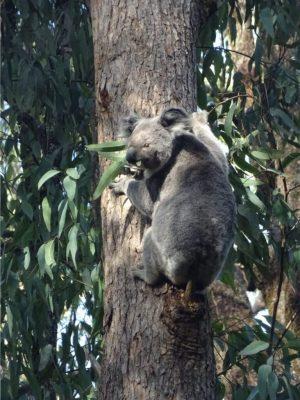 Border Ranges NP - koala 01