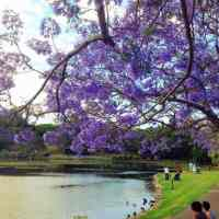 Where to See Jacarandas in Brisbane: the Best Places Revealed