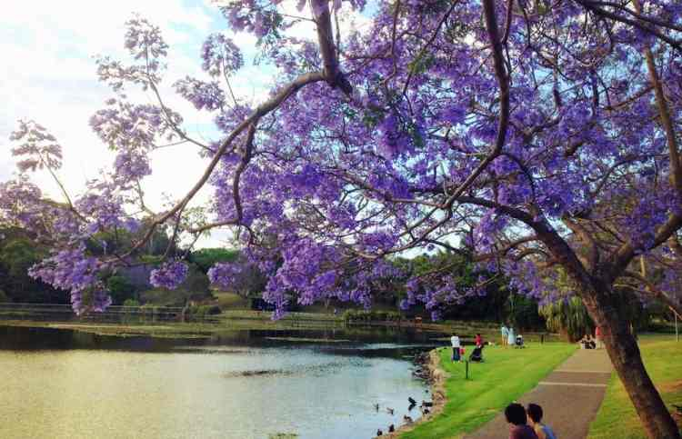 Brisbane - Jacarandas - University of Qld