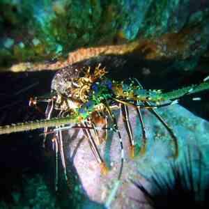 South West Rocks Diving - Crayfish