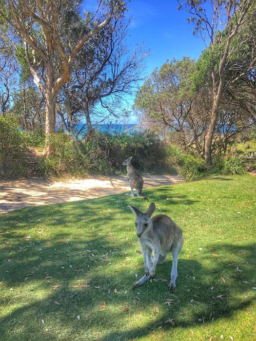 Crowdy Bay National Parks Wallabies
