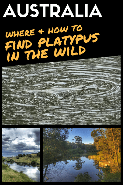 How and Where To Find Platypus In The Wild: My Best Tips