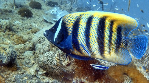 SS Yongala dive - Angelfish