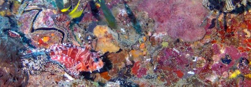 SS Yongala dive - Lionfish