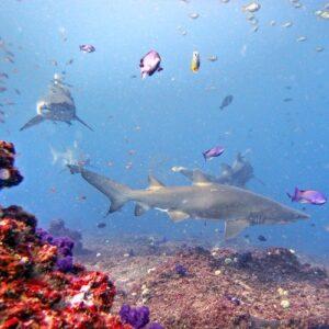 Diving Cherubs Cave Grey Nurse Sharks