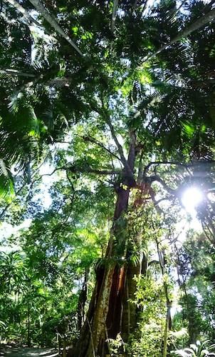 Mt Tamborine Skywalk Rainforest Trees