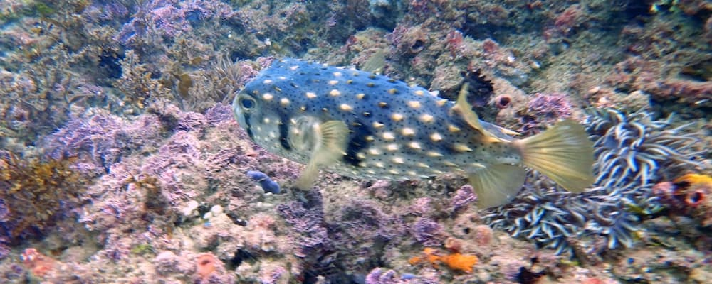 Kirra Beach Gold Coast Diving - Porcupinefish