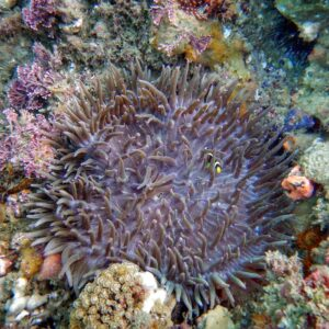 Kirra Reef - Gold Coast Scuba Diving Clownfish