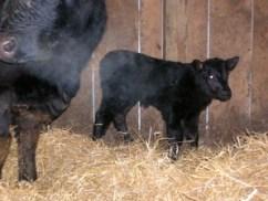 calf 1F01-1
