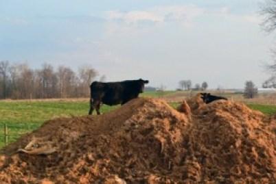 mountain climbing cows