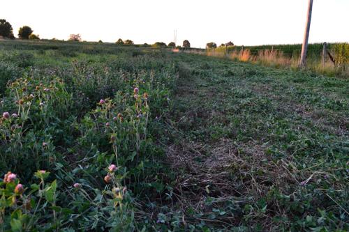 cutting clover hay