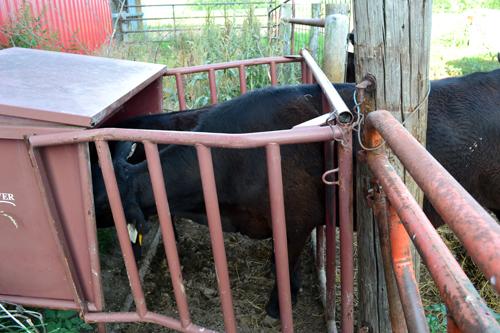 yearling heifer in creep feeder