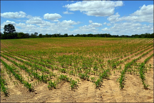 1 month corn