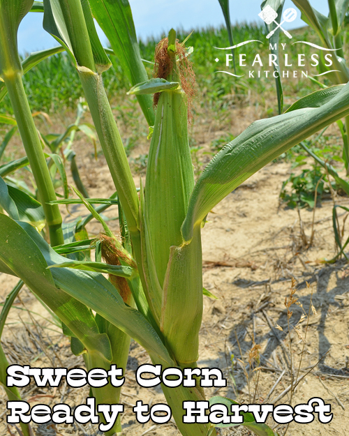 The difference between sweet corn and field corn