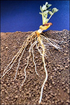 Seed to Peanut growing 2