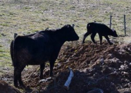 calf on the mountain