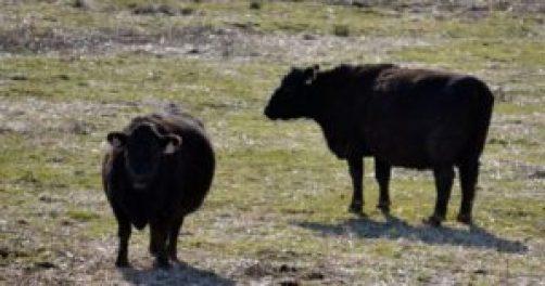 pair of cows